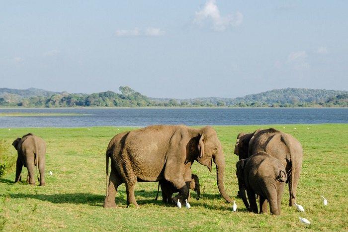 Слоны на Шри-Ланке